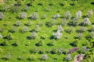 Aerial view of a blooming orchard near Obergangkofen - Klaus Leidorf Aerial Photography