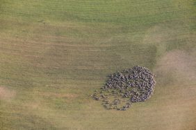 Aerial view of a flock of sheep on harvested field - Klaus Leidorf Aerial Photography