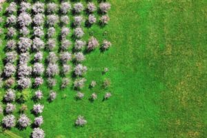 Aerial view of blooming fruit trees arranged graphically in a meadow near Rosenheim - Klaus Leidorf Aerial Photography