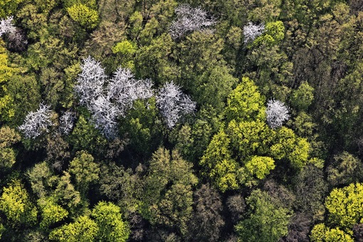 Aerial view of the spring forest in the nature reserve Mainhang at the Vogelsburg - Klaus Leidorf Aerial Photography