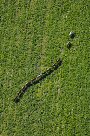 Aerial photo of 12 cows walking in a row across the pasture - Klaus Leidorf Aerial Photography