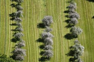 Aerial view of flowering fruit trees near Oisching, Gde. Lalling, Lkr. Deggendorf - Klaus Leidorf Aerial Photography