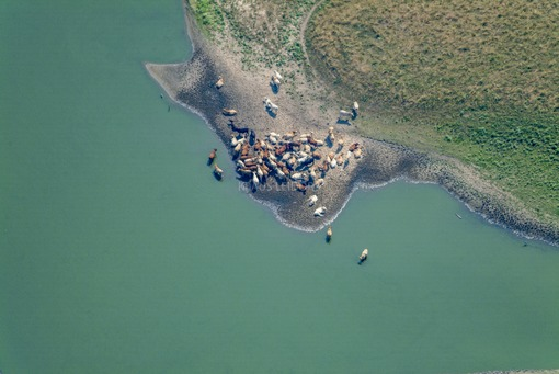 Aerial view of cattle on the beach - Klaus Leidorf Aerial Photography