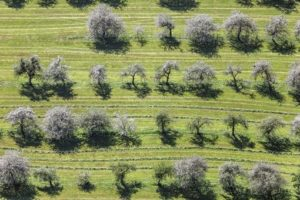 Aerial view of flowering fruit trees near Oisching, which have been cut down almost completely in the meantime - Klaus Leidorf Aerial Photography