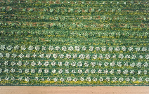 Aerial view of flowering rows of fruit trees - Klaus Leidorf Aerial Photography