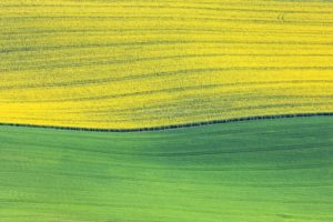 Aerial view of the border between yellow and green, rape field and grain field in May - Klaus Leidorf Aerial Photography