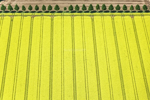 Aerial view of a flowering rape field with tree row near Poing - Klaus Leidorf Aerial Photography