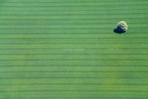 Aerial view of a lonely tree in a cornfield - Klaus Leidorf Aerial Photography