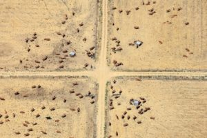 Aerial photo of a field path crossing with cattle - Klaus Leidorf Aerial Photography