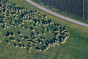 Aerial view of a flock of sheep with shepherd in red jacket - Klaus Leidorf Aerial Photography