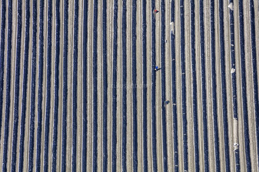 Aerial photograph of workers in an asparagus field during harvest - Klaus Leidorf Aerial Photography