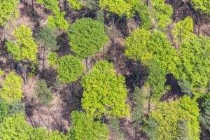 Aerial view of beech trees in spring green in the forest - Klaus Leidorf Aerial Photography