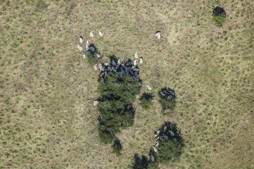 Aerial view of sheep seeking shade in summer heat - Klaus Leidorf Aerial Photography