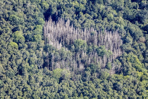 Aerial view of dead conifers in the small forest Unterweidach near Aschheim - Klaus Leidorf Aerial Photography