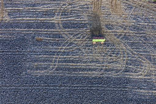 Aerial view of the red cabbage harvest - Klaus Leidorf Aerial Photography