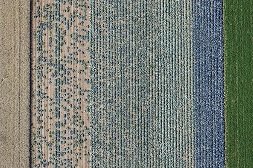 Aerial view of a field with cabbages - Klaus Leidorf Aerial Photography