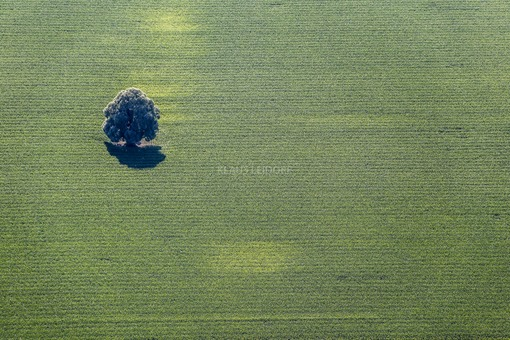 Aerial view of a lonely deciduous tree in a cornfield - Klaus Leidorf Aerial Photography