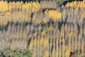 Aerial view of a mixed autumn forest with many rows of poplars - Klaus Leidorf Aerial Photography