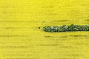 Aerial view of a green stripe in a yellow rape field - Klaus Leidorf Aerial Photography