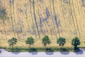 Aerial view of a row of trees at the cornfield with blue cornflowers - Klaus Leidorf Aerial Photography