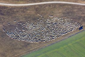 Aerial view of a flock of sheep - Klaus Leidorf Aerial Photography