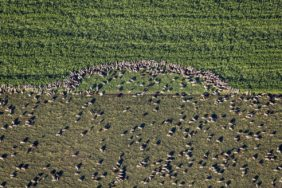 Aerial view of a flock of sheep on grassland - Klaus Leidorf Aerial Photography
