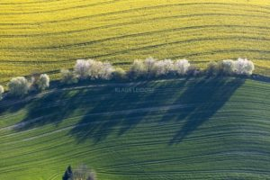 Aerial view of a row of flowering trees in a rape field - Klaus Leidorf Aerial Photography