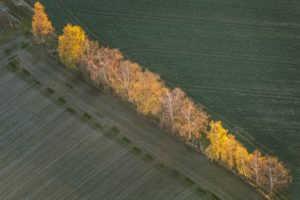 Aerial view of an autumnal row of birches glowing in the evening light - Klaus Leidorf Aerial Photography