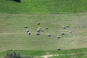 Aerial view of happy white cows in the pasture - Klaus Leidorf Aerial Photography