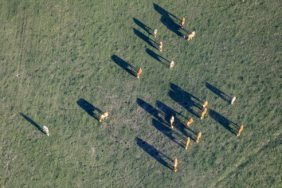 Aerial view of happy cows on the pasture in the evening light - Klaus Leidorf Aerial Photography