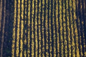 Aerial view of autumnally coloured rows of poplars in a wood plantation - Klaus Leidorf Aerial Photography