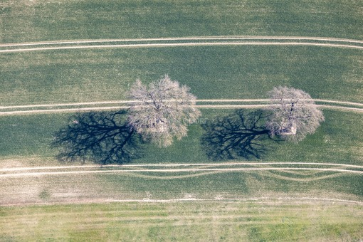 Aerial view of two oaks in a cornfield - Klaus Leidorf Aerial Photography