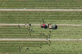 Aerial view of harvest hands at the salad harvest - Klaus Leidorf Aerial Photography