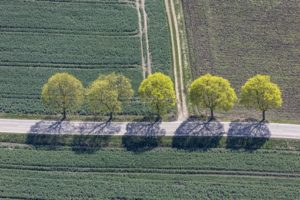 Aerial view of five lush green maple trees on the roadside - Klaus Leidorf Aerial Photography